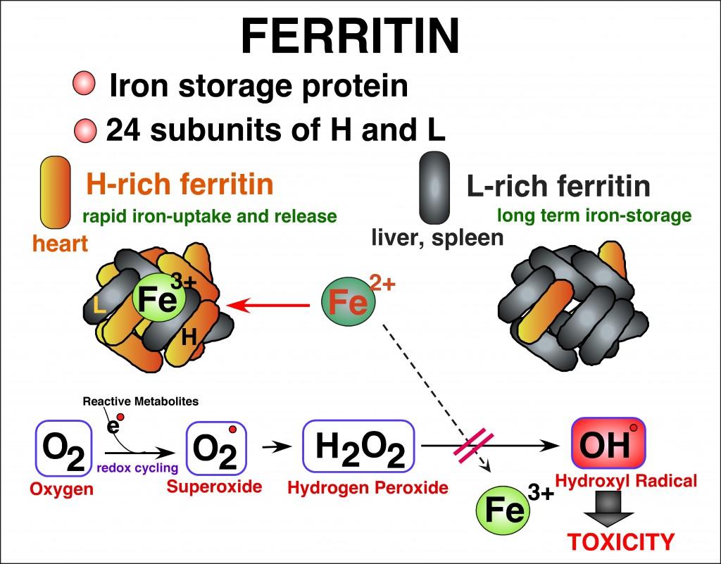 ferritin' copy